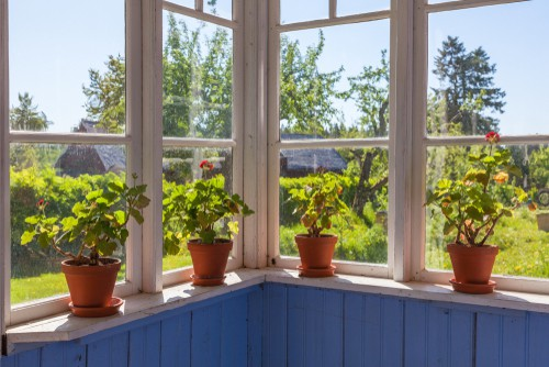 Knowing how to make your geraniums survive the winter starts with bringing them inside. They can fare very well inside if they get lots of bright light. They prefer cooler temperatures though so it's best to put them in a window where they are not close enough to get a draft but the area does stay cool and get ample sunlight.