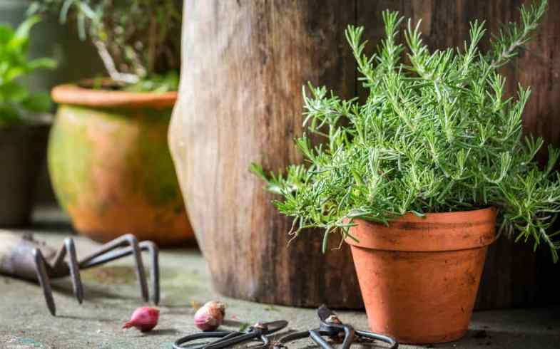 Growing Rosemary In Pots – For beginners