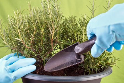 Growing Rosemary in containers requires soil based or a multipurpose compost mixture which you can combine with perlite or grit in order to allow for better drainage. two parts compost to one part grit is usually about right and helps improve drainage. You want to make sure that whatever pot you choose is it least 30cm across so that the roots have enough space to grow and to expand effectively.