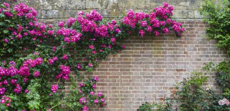 How to train a climbing rose on wires, fences, arches and pergolas