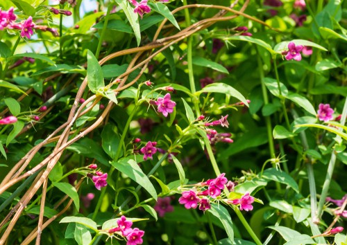 As a deciduous shrub that climbs you will enjoy fragrant flowers that take on a star shape in tones of red or pink. This particular variety commonly known as red Jasmine prefers rich soil and is a vigorous, semi-evergreen climber that is so strong it can withstand a typical frost. So, if you live in a colder area it is perfect for containers.