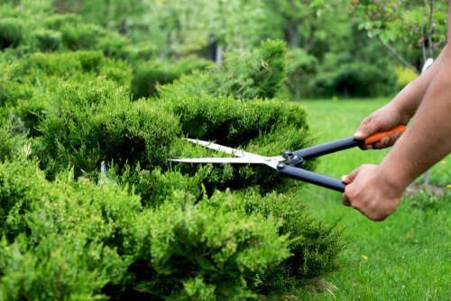 With these, you can prune a bit more heavily and the conifer will do just fine. You can prune anywhere along the stem but be cognizant of avoiding the bare wood. If you are trying to maintain the shape of your Conifer it is best to do this pruning at the beginning of Spring so as to maintain a natural shape. If you see wayward branches jutting out in all directions you should also remove those come springtime