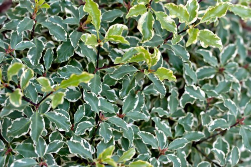 Silver Queen is a special, variegated evergreen that can be found in many forms the smaller of which are perfect for containers. You can actually grow it in a container in the shade and cut it such that it serves as a topiary. With limited sunlight, it will actually slow down its growth rate which allows it to fit more effectively in a smaller container long-term.