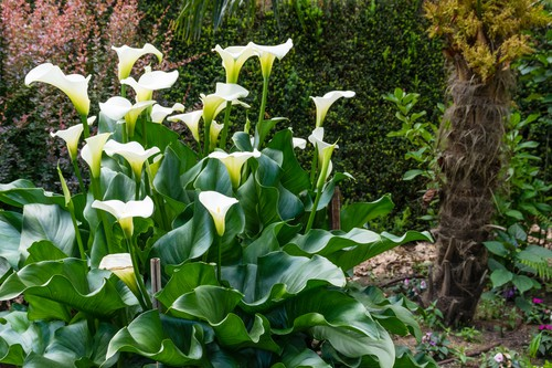 Zantedeschia aethiopica -  prefer wet soil and can be planted as marginal pond plants