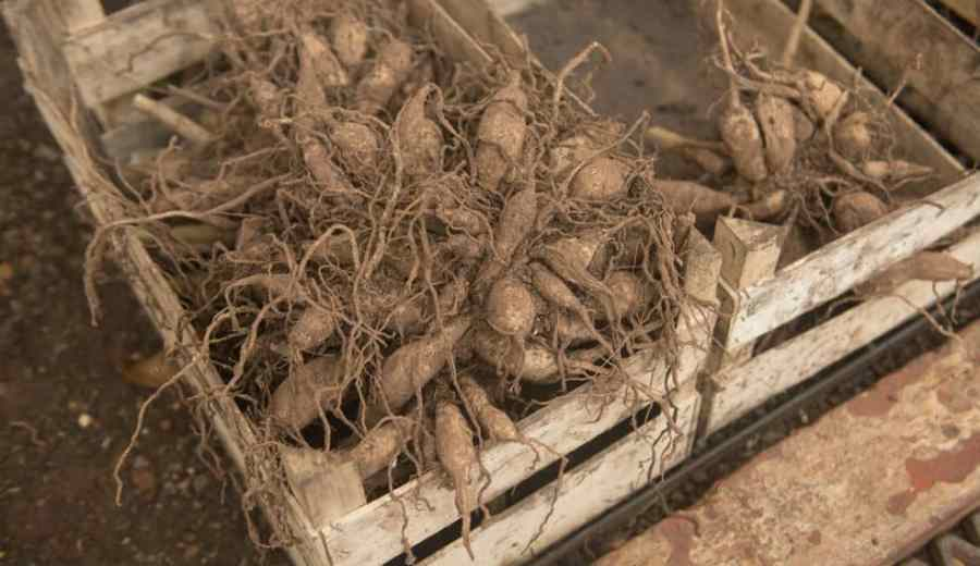 It's in your best interest to coat each tuber with Bordeaux Mixture before you store them so that they are protected against fungal growth over the winter. Once they have dried you can place them in a box lined with newspaper and then cover each of them with a layer of peat moss followed by another layer of newspaper on top of everything else.