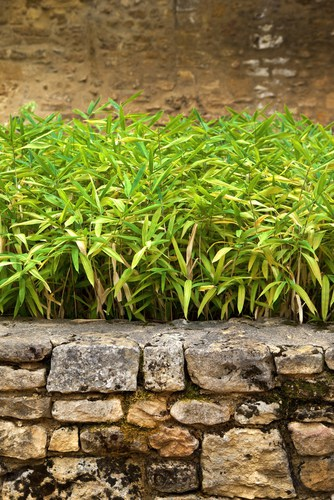 Given how prolifically bamboo propagates on its own it is a very popular plant to use for ground cover with dwarf varieties. If you are growing a dwarf variety you can cut it back to the ground in the early springtime it will help rejuvenate it.