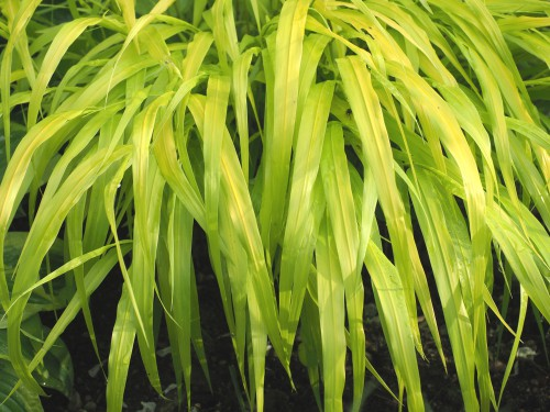 As the name suggests, this plant is all gold in colour, bright yellow atop a green base. The stems are quite slender and the bright yellow foliage takes on the appearance of small bamboo. It spreads slowly and gently via rhizomes, perfect for containers or mixed borders and only grows to around 40cm