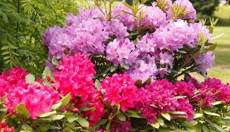 How to take a cutting from a rhododendron