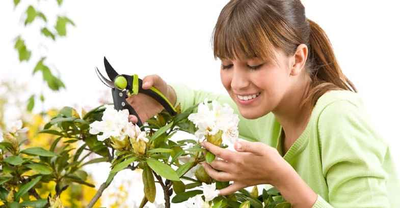 Rhododendron pruning – how and when to prune