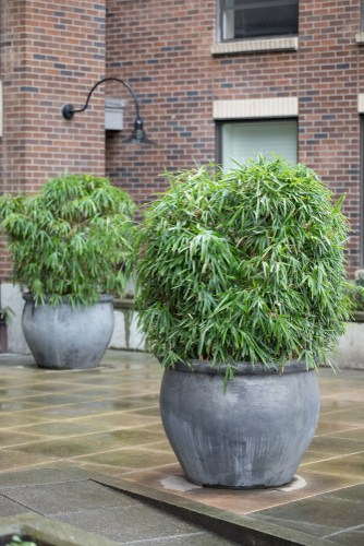 If you are growing bamboo in containers, you want the same drainage and considerations for runners versus clumps. You should also be cognizant of the pruning you will have to do to keep a container-grown specimen at the right size and also help the canes stand out.