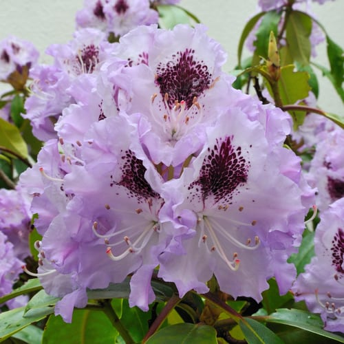 Another favoured variety is the Rhododendron blue Peter which is pictured above. This is an evergreen shrub and it has a colourful, dense head on the leaves with violet-blue flowers that come in funnel-shaped, tubular shapes, or Bell shapes. They also offer frilled pedals which is very unique and quite stunning. This is a bushy shrub that will reach up to 3 meters in height. It is ideally suited to be a hedge, privacy screen or specimen plant.