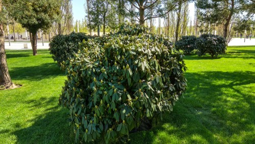 Rejuvenation pruning of Rhododendrons. Prune one third of stems by one third and remove the remaining stems by one third the first year and then by another third the following year