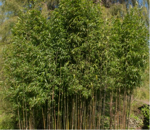 This green temple bamboo is also known as Narihira bamboo is one of the largest bamboos but they can be somewhat controlled when grown in pots.
