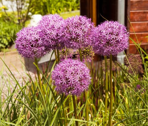 How to propagate alliums