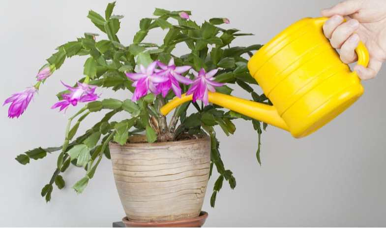 Christmas cactus care – Planting, encouraging flowering and more