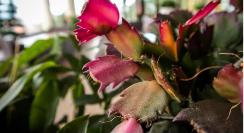 Christmas Cactus Problems. generally pest free but large temperature changes from warm to cold can effect flowering