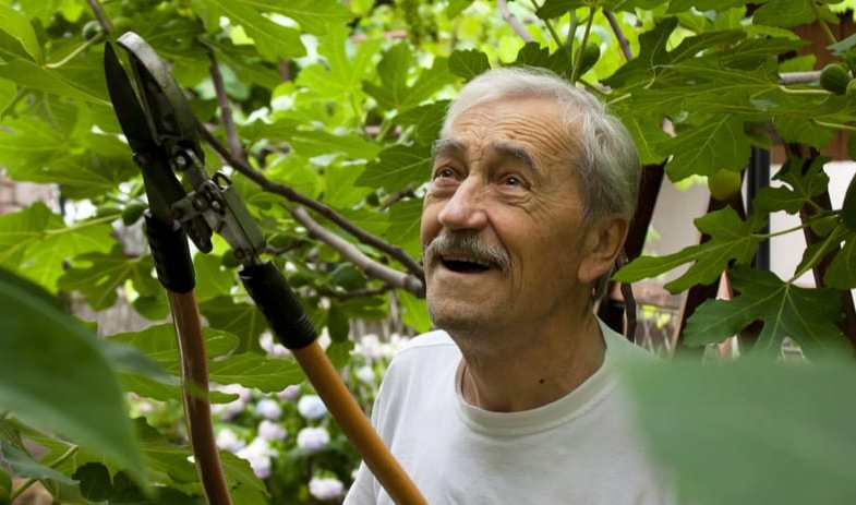 Pruning fig trees – the complete guide