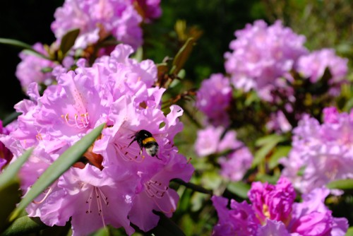 If you want to encourage a bee-friendly garden, cultivating different rhododendrons are sure to help.