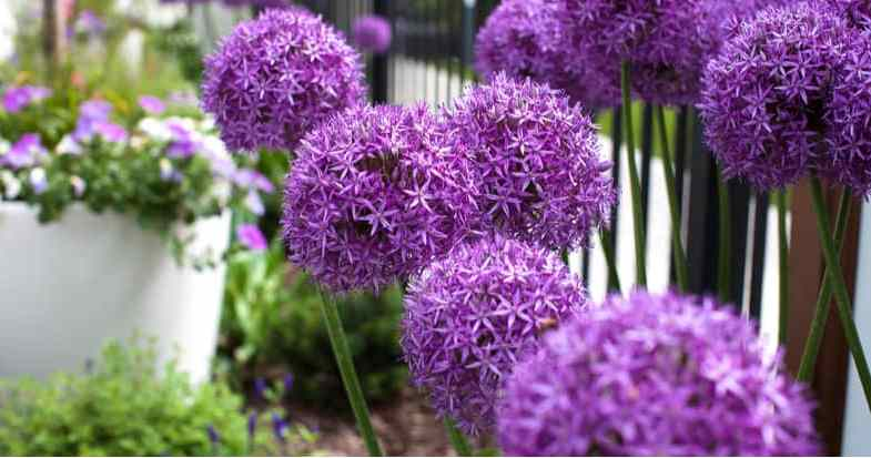 When To Plant and Grow Allium Bulbs