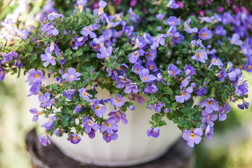 Bacopa is a trailing plant as pictured above with small, green leaves and single flowers that come in blues, pinks, even whites. You can keep the flowers come all season without the warmer weather wilting or fading the vibrancy.