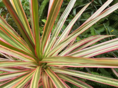Common Cordyline Problems - Most problems is caused by to much watering and no protection from winter weather