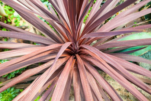 Cordyline pests and problems. There are two types of pests that might affect your cordylines. The first is spider mites and the second is thrips.