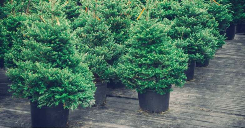 Growing Christmas trees in pots