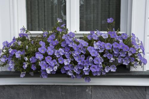 Window box planted with petunias