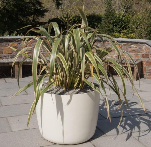 Phormium shrub planted in pot