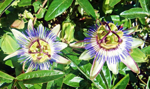 planting and choosing a pot for passion flowers