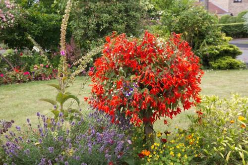Trailing begonias planted in hanging basket