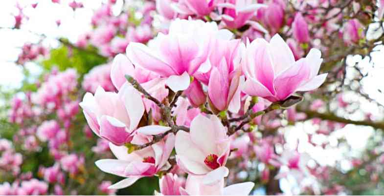 Growing magnolias – Planting and care guide