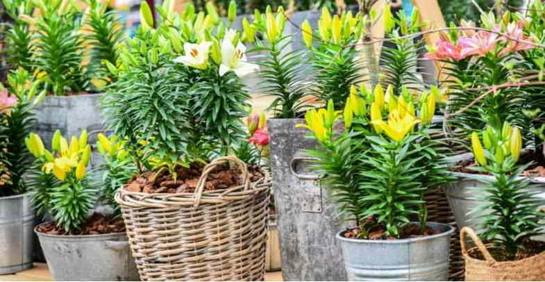 Growing lilies in pots – the complete guide