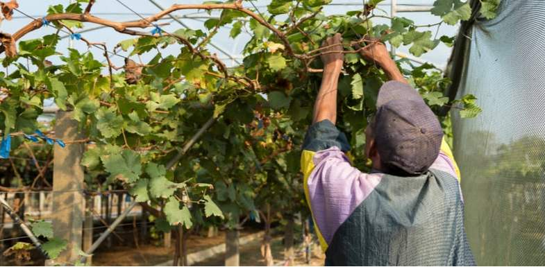 How and when to prune grapevines