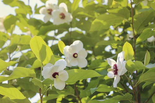 Choosing the right variety of magnolia