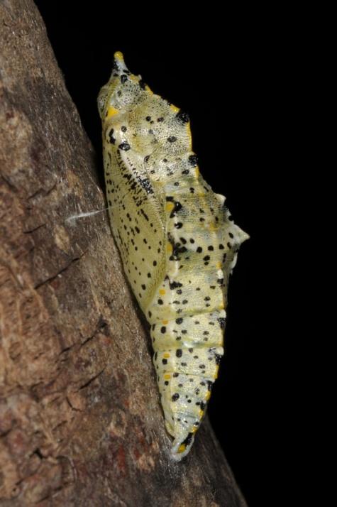 European Lepidoptera and their ecology Pieris brassicae