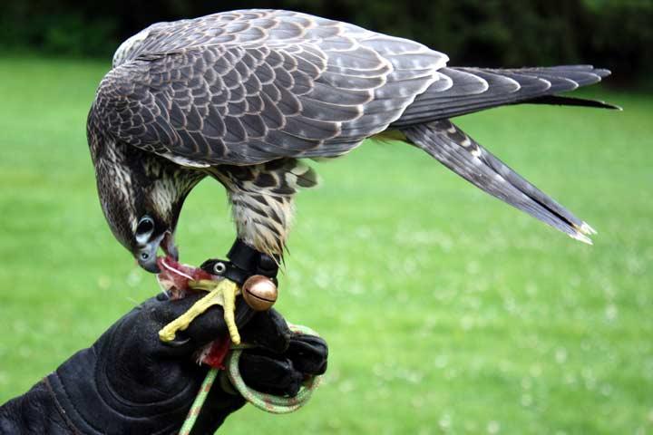 Falke: Belohnung nach dem Training.