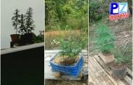 Fuerza Pública decomisa matas de marihuana en techo de vivienda cerca de Rivas