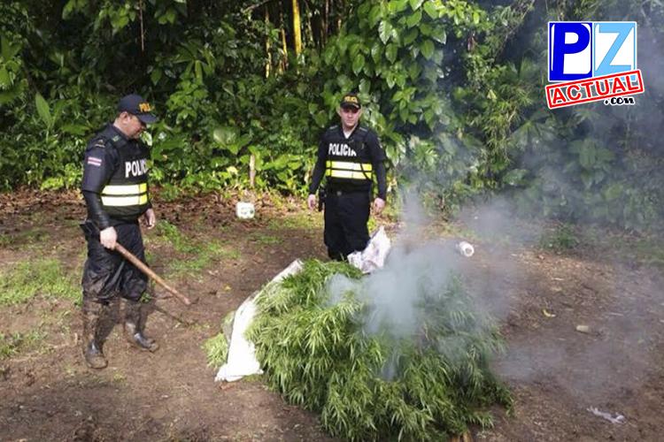 Fuerza Pública erradica 1160 matas de marihuana en Osa