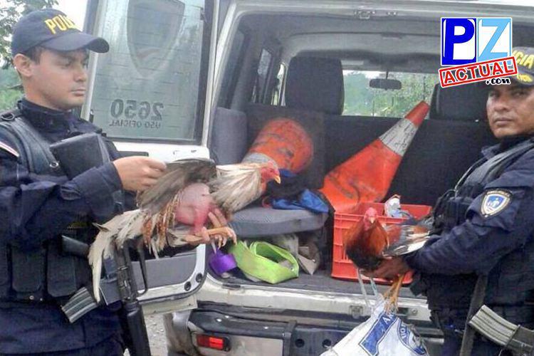 Policía de Fronteras decomisó cuatro gallos de pelea el pasado domingo.