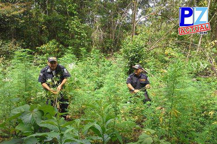 Localizan plantación de marihuana con más de 14 mil plantas en Buenos Aires de Puntarenas.