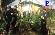 Fuerza Pública localiza y destruye gran vivero de marihuana en finca de Osa
