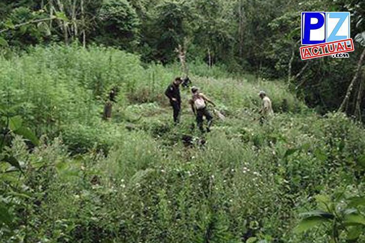 Fuerza Pública erradica doce mil plantas de marihuana en Buenos Aires de Puntarenas.