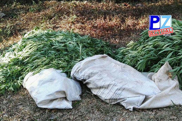 Detalles sobre el hallazgo de más de 900 plantas de marihuana en San Antonio de La Amistad.