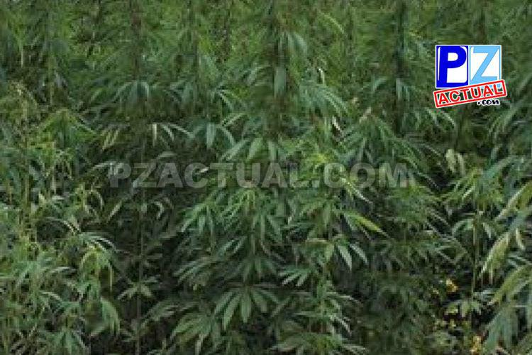 PCD quita 215.833 plantas de marihuana sembradas entre arroz y tiquisque en Osa.