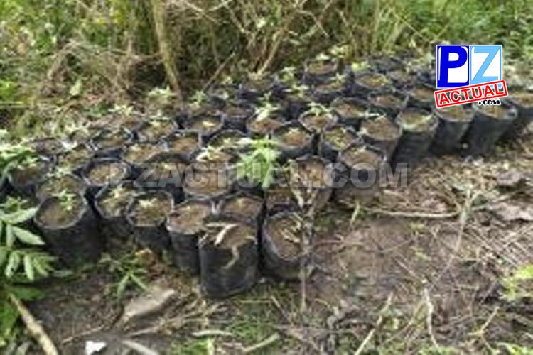 PCD descubre plantaciones de marihuana entre manglares en la Zona Sur.