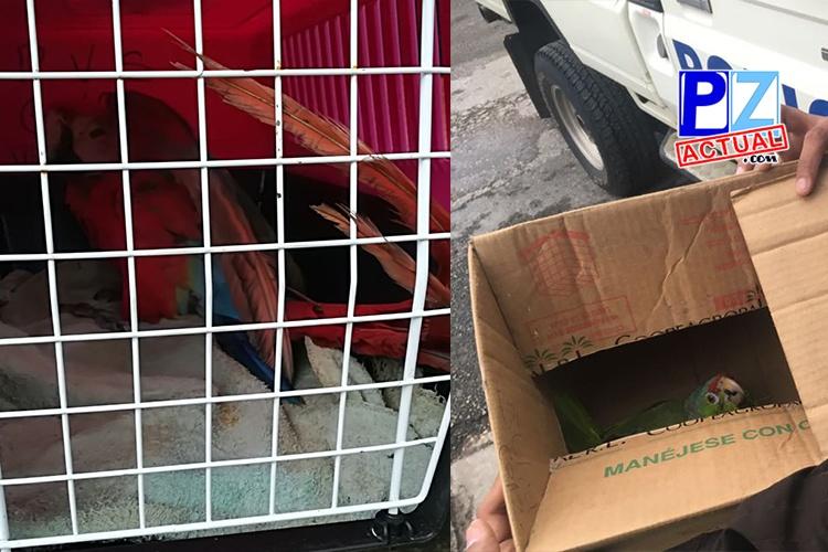 Policía de Fronteras rescata una lora y una lapa roja en Paso Canoas.