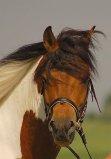 Hucul Horse