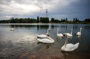 Swans by the Danube River