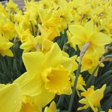 Troyes daffodils
